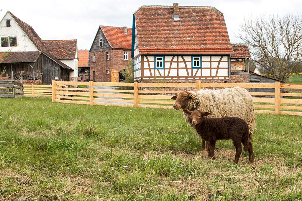 Schafe im Freilandmuseum