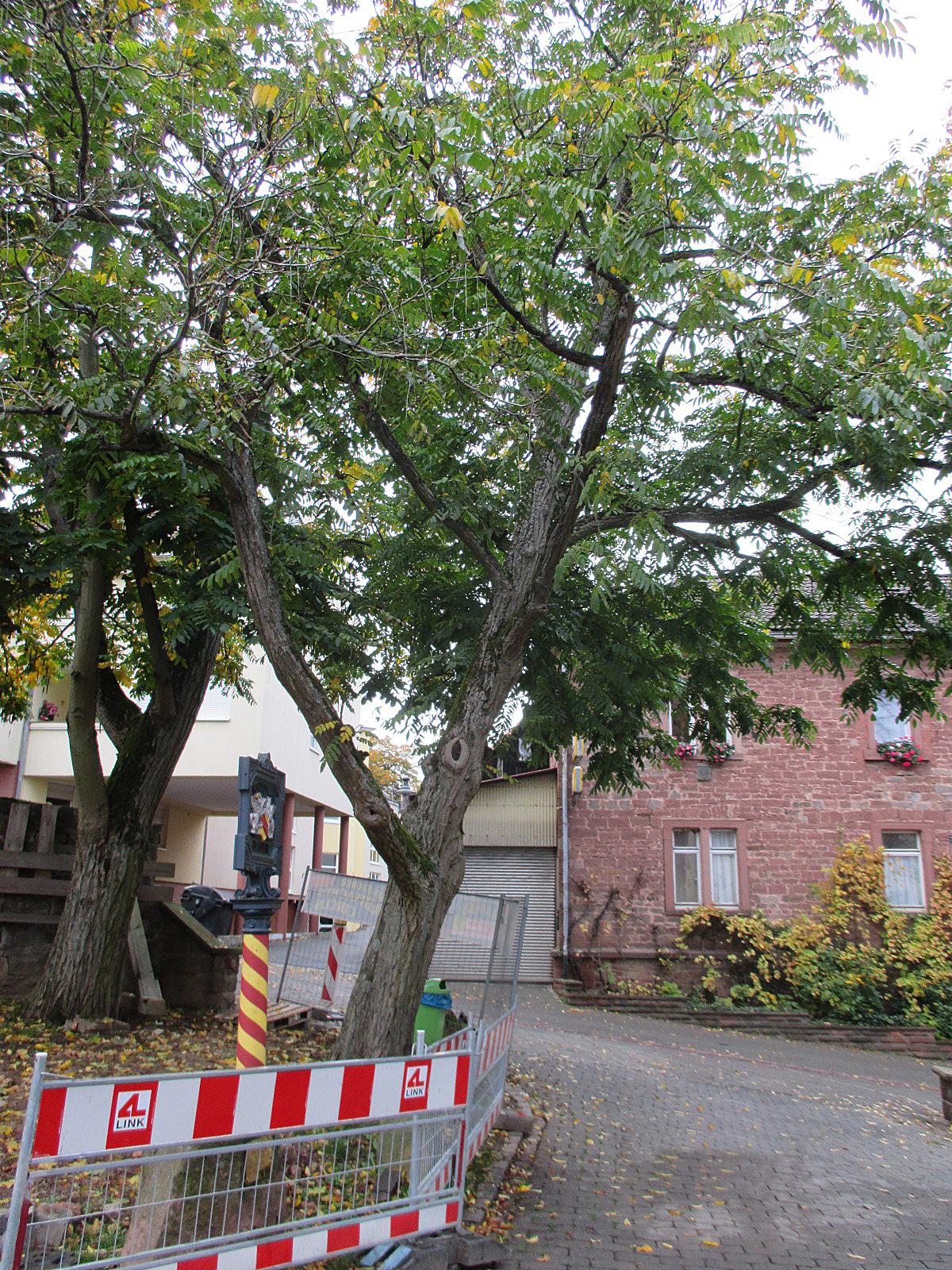 Flügelnüsse Klosterstraße