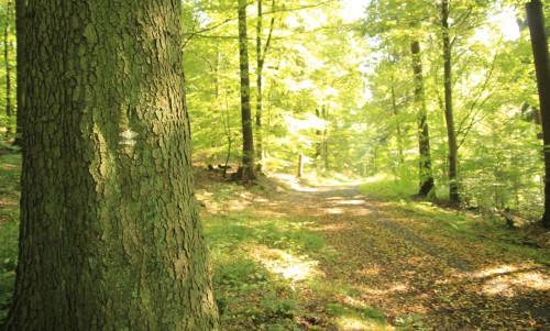 Ein Weg durch den Walldürner Stadtwald. Im Vordergrund steht eine kräftige Eiche.